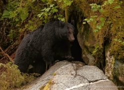 black-bear-anan-alasaka-4658-copyright-photographers-on-safari