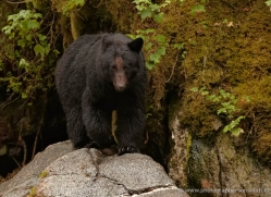 black-bear-anan-alasaka-4659-copyright-photographers-on-safari