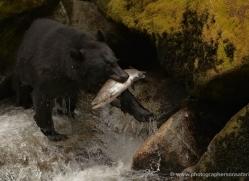 black-bear-anan-alasaka-4660-copyright-photographers-on-safari