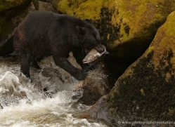 black-bear-anan-alasaka-4661-copyright-photographers-on-safari