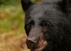 black-bear-anan-alasaka-4666-copyright-photographers-on-safari