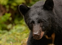 black-bear-anan-alasaka-4667-copyright-photographers-on-safari