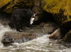 black-bear-anan-alasaka-4669-copyright-photographers-on-safari