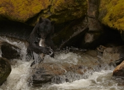 black-bear-anan-alasaka-4671-copyright-photographers-on-safari