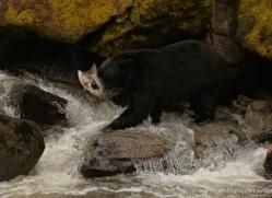 black-bear-anan-alasaka-4672-copyright-photographers-on-safari