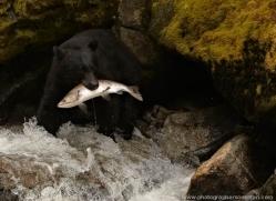 black-bear-anan-alasaka-4674-copyright-photographers-on-safari