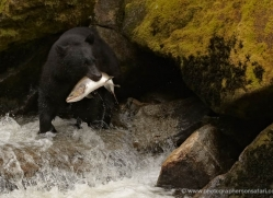 black-bear-anan-alasaka-4675-copyright-photographers-on-safari