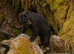 black-bear-anan-alasaka-4681-copyright-photographers-on-safari