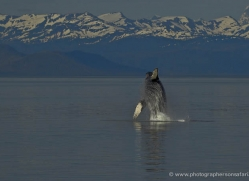 humpback-whale-breach-alasaka-4599-copyright-photographers-on-safari