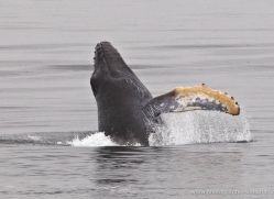 humpback-whale-breach-alasaka-4600-copyright-photographers-on-safari