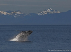 humpback-whale-breach-alasaka-4601-copyright-photographers-on-safari