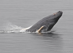 humpback-whale-breach-alasaka-4603-copyright-photographers-on-safari