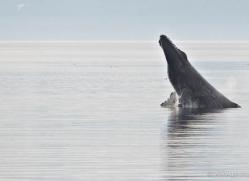 humpback-whale-breach-alasaka-4604-copyright-photographers-on-safari