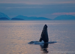 humpback-whale-spyhop-alasaka-4606-copyright-photographers-on-safari