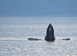 humpback-whale-spyhop-alasaka-4607-copyright-photographers-on-safari