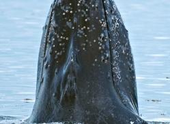 humpback-whale-spyhop-alasaka-4609-copyright-photographers-on-safari