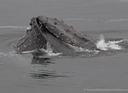 humpback-whales-inside-passage-alasaka-4736-copyright-photographers-on-safari