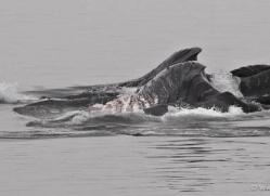 humpback-whales-inside-passage-alasaka-4742-copyright-photographers-on-safari