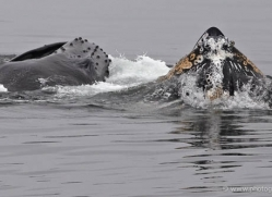 humpback-whales-inside-passage-alasaka-4745-copyright-photographers-on-safari