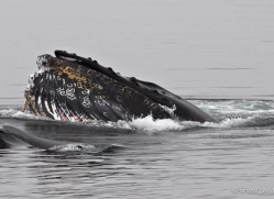 humpback-whales-inside-passage-alasaka-4747-copyright-photographers-on-safari