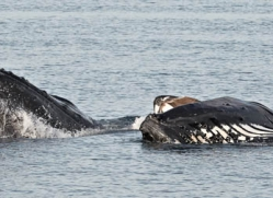 humpback-whales-inside-passage-alasaka-4752-copyright-photographers-on-safari
