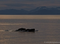 humpback-whales-inside-passage-alasaka-4754-copyright-photographers-on-safari