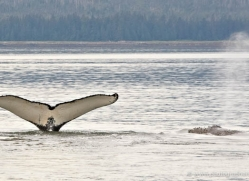 humpback-whales-inside-passage-alasaka-4755-copyright-photographers-on-safari