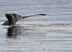 humpback-whales-inside-passage-alasaka-4757-copyright-photographers-on-safari