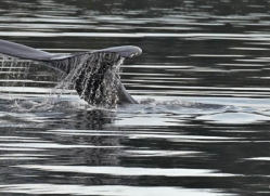 humpback-whales-inside-passage-alasaka-4762-copyright-photographers-on-safari