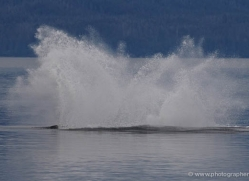 humpback-whales-inside-passage-alasaka-4763-copyright-photographers-on-safari