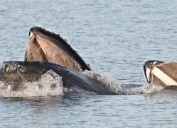 humpback-whales-inside-passage-alasaka-4767-copyright-photographers-on-safari