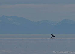 humpback-whales-inside-passage-alasaka-4770-copyright-photographers-on-safari