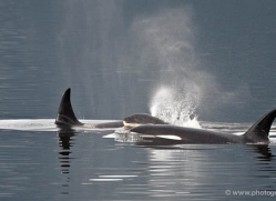 humpback-whales-inside-passage-alasaka-4771-copyright-photographers-on-safari