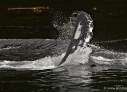 humpback-whales-inside-passage-alasaka-4777-copyright-photographers-on-safari
