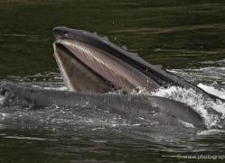 humpback-whales-inside-passage-alasaka-4779-copyright-photographers-on-safari