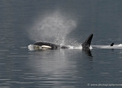 orca-killer-whale-alasaka-4615-copyright-photographers-on-safari