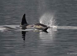 orca-killer-whale-alasaka-4616-copyright-photographers-on-safari