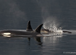 orca-killer-whale-alasaka-4617-copyright-photographers-on-safari