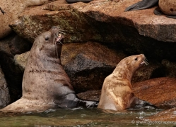 steller-sea-lion-alasaka-4631-copyright-photographers-on-safari
