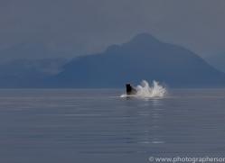 humpback-whales-copyright-photographers-on-safari-com-7732