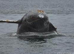 humpback-whales-copyright-photographers-on-safari-com-7737