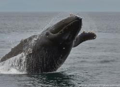 humpback-whales-copyright-photographers-on-safari-com-7738
