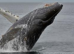 humpback-whales-copyright-photographers-on-safari-com-7739