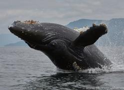humpback-whales-copyright-photographers-on-safari-com-7741