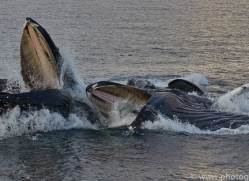humpback-whales-copyright-photographers-on-safari-com-7743
