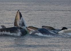 humpback-whales-copyright-photographers-on-safari-com-7744