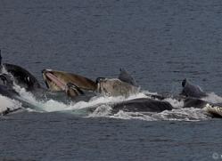 humpback-whales-copyright-photographers-on-safari-com-7750