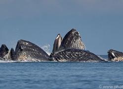 humpback-whales-copyright-photographers-on-safari-com-7751