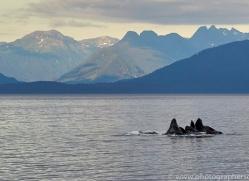 humpback-whales-copyright-photographers-on-safari-com-7755
