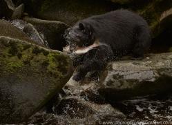 black-bears-copyright-photographers-on-safari-com-7727